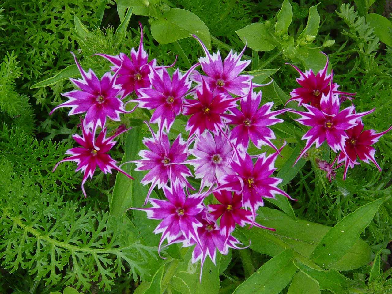 Каталог многолетних садовых цветов от а до я